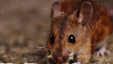 Schädlingsbekämpfung Heinsohn in Bremerhaven, Schädlingsbekämpfung Heinsohn aus Spaden, Kammerjäger in Bremerhaven, Mäuse im Haus bekämpfen, Mäuse im Garten vertreiben, Mäuse vertreiben, Mäuse bekämpfen