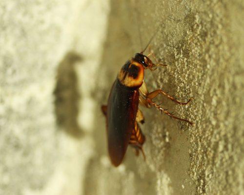 sbk-heinsohn.de-schaedlingsbekaempfung-bremerhaven-spaden-schaben-bekaempfen-kakerlaken-in-der-kueche-was-tun-gegen-kakerlaken-image-1